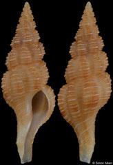 Okutanius cf. kuroseanus (Philippines, 22,4mm)