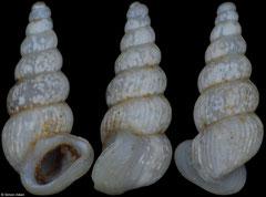 Lanzaia vjetrenicae (Bosnia and Herzegovina, 2,4mm)