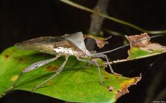 Leaf-footed bug (Coreidae sp.), Hà Tiên, Vietnam