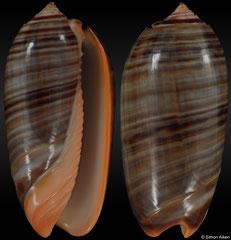 Oliva rubrolabiata (Vanuatu, 40,3mm)