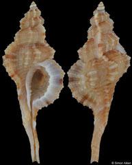 Turritriton tenuiliratus (Philippines, 35,7mm)
