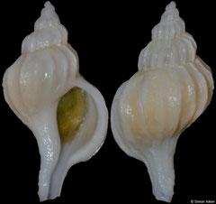 Boreotrophon aomoriensis (Japan, 17,2mm)
