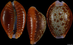 Cypraea helvola form 'citrinicolor' (Western Australia, 18,0mm) F+++ €3.50 (specimens for sale are 18mm+ and are of the same quality as the specimens illustrated)