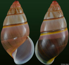 Amphidromus nicoi (Vietnam, 28,2mm) F+++ €10.00 (specimens for sale are 28-31mm and are of the same quality as the specimen illustrated)