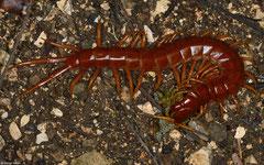 Caribbean giant centipede (Scolopendra alternans), San Raphael, Pedernales peninsula, Dominican Republic