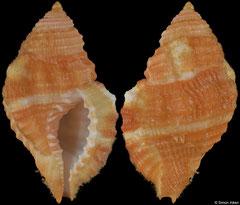 Cymatium occidentalis (Florida, USA, 23,7mm)