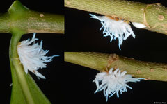 Scale insect (Pseudococcidae sp.), Samal Island, Philippines
