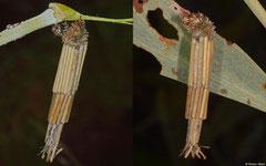 Bagworm moth (Psychidae sp.) larva, Broome, Western Australia