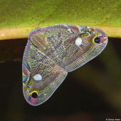 Planthopper (Ricaniidae sp.), Andasibe, Madagascar