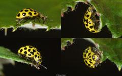 Twenty-two-spot ladybird (Psyllobora vigintiduopunctata), York, UK