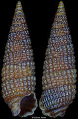 Cerithiopsis neglecta (Pacific Mexico, 4,3mm) F++ €6.00