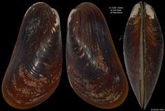 Bathymodiolus puteoserpentis (off Mauritania, 93,8mm)