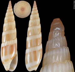 Hastula albula (Madagascar, 25,4mm)