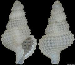 Distorsomina pusilla (Philippines, 7,1mm)