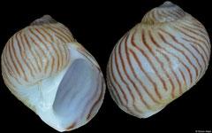 Naticarius gracilis (Philippines, 4,5mm)