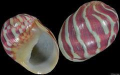 Clithon pulchellum (Vietnam, 12,2mm)