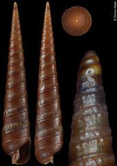 Terebra anilis (Philippines, 24,4mm) F+++ €4.00