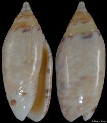Oliva ozodona nitidula (Madagascar, 23,1mm)