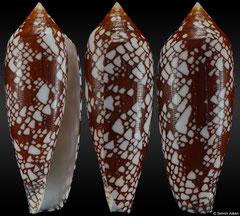 Conus aulicus (Queensland, Australia, 66,4mm)