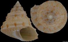 Calliostoma shinagawensis (Japan, 14,3mm)