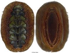 Mopalia kennerleyi (Washington, USA, 43,5mm)