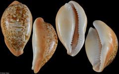 Cypraea langfordi (Philippines, 58,4mm)