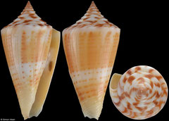 Conus anabathrum (Florida, USA, 37,8mm) F+/F++ €10.50