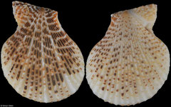 Mimachlamys albolineata (Amami Islands, 30,7mm)