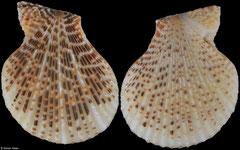 Mimachlamys albolineata (Amami Islands, 30,7mm)