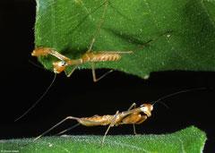 Praying mantis (Mantidae sp.) nymph, Angkor Chey, Cambodia
