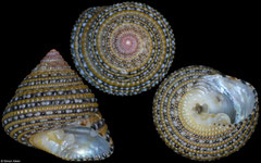 Clanculus rarus (Chagos Islands, 10,3mm)
