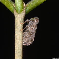 Planthopper (Issidae sp.), Angkor Chey, Cambodia