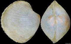 Verticordia guineensis (Philippines, 5,4mm)