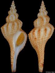 Propefusus sp. (Western Australia, 68,2mm)