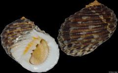 Nerita grossa (Indonesia, 34,7mm)