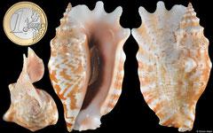 Sinustrombus sinuatus (Philippines, 71,1mm)