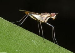 Banana stalk fly (Telostylinus lineolatus), Fianarantsoa, Madagascar