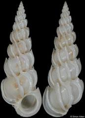 Epitonium pyramidale (Philippines, 28,5mm)