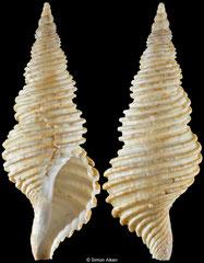 Aulacofusus periscelidus (Japan, 68,4mm)