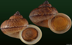 Cyclophorus volvulus (Laos, 28,5mm, 29,3mm)