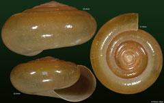 Sarika resplendens (Cambodia) F++ €13.00 (larger specimens of this quality) or €10.00 (smaller specimens of this quality)