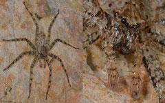 Flatty spider (Selenopidae sp.), La Talanquera, Samaná peninsula, Dominican Republic
