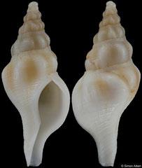 Euthria scepta (New Caledonia, 26,6mm) F+ €26.00