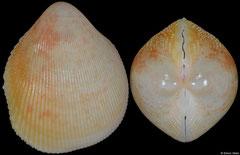 Acrosterigma suduirauti (Philippines, 31,0mm)