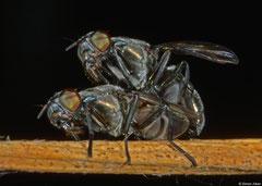 Flesh flies (Sarcophagidae sp.), Hà Tiên, Vietnam