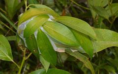 Weaver ant (Oecophylla sp.) nest, Bokor Mountain, Cambodia
