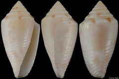 Conus joanae (Brazil, 14,8mm)