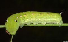 Hawkmoth (Daphnis sp.) larva, Balut Island, Philippines