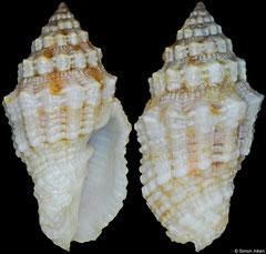 Vexillum rusticum (Philippines, 16,8mm)