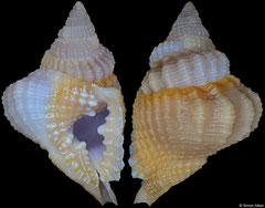 Distorsio euconstricta (Philippines, 20,1mm)